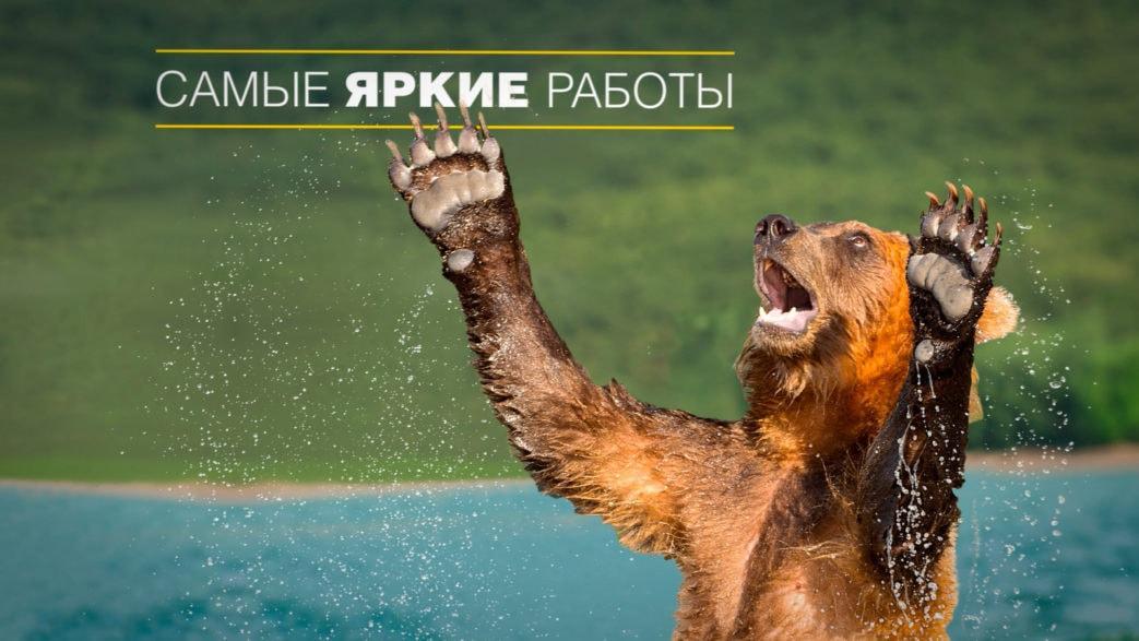 медведь поднял лапы вверх в видеоролика для National Geographic